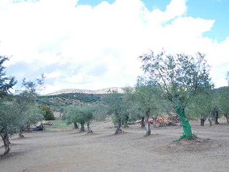 周りはオリーブの樹が広がるばかり