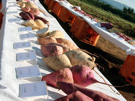 直営農場で自然栽培する150品種のカラー芋