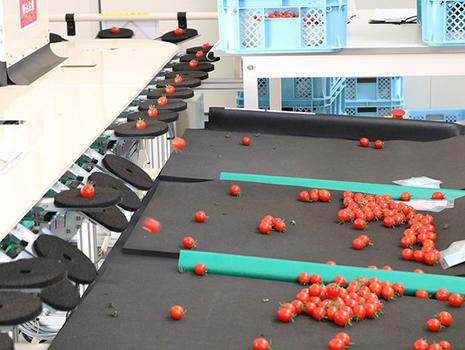 トマトは出荷前にひと粒ひと粒糖度を測定