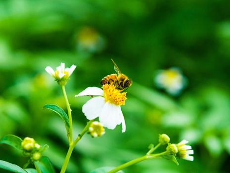 プロポリスは、ミツバチが巣を守るため、ハーブの新芽や樹脂を原料につくる天然のワックス。