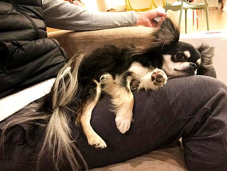 吾妻さんのうちの犬(ロングコートチワワ はなまる♂2歳