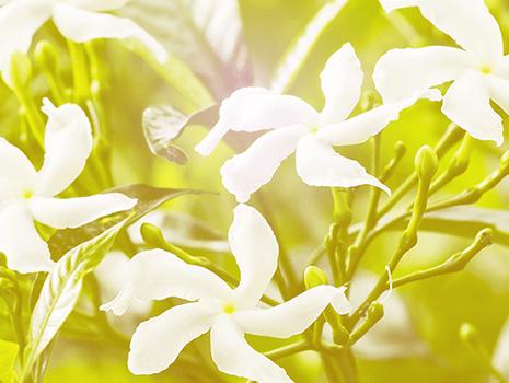 ハワイ王国最後の王女が愛した花「ピカケ」