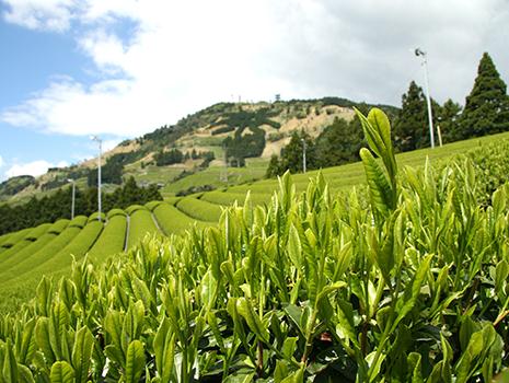 静岡県掛川市の特産品・深蒸し茶をご存じでしょうか
