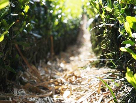 深蒸し茶のビギナーにもぜひ味わってもらいたいたのが、今回ご紹介する「山東茶農家の茶草場農法栽培茶」(株式会社美笠園)