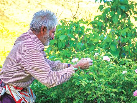 ベースとなっているローズウォーターは、イランで野生のバラを朝に手摘みしています