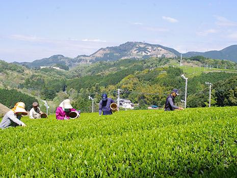 『茶草場農法』は、秋・冬に刈り取ったすすきや笹を茶畑の根元に敷き、お茶の栽培に最適な土壌をつくる伝統的な農法です