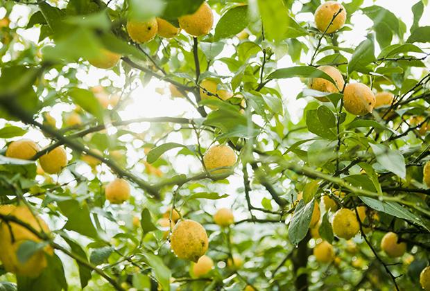 国産レモン発祥の地と言われているのが、瀬戸田町の生口島。そこに自社グループ農園を持ち、レモンを栽培しているのが、瀬戸内レモン農園です